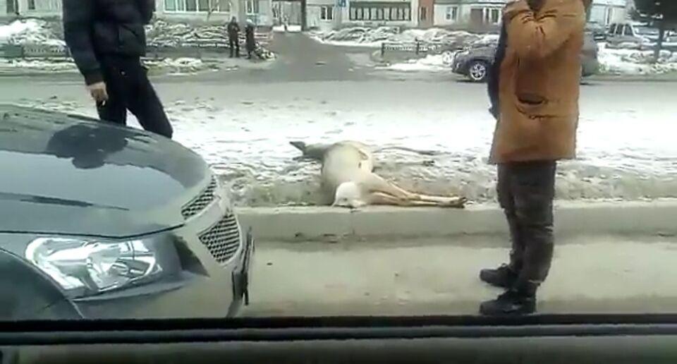 Дикую косулю сбили в Северске