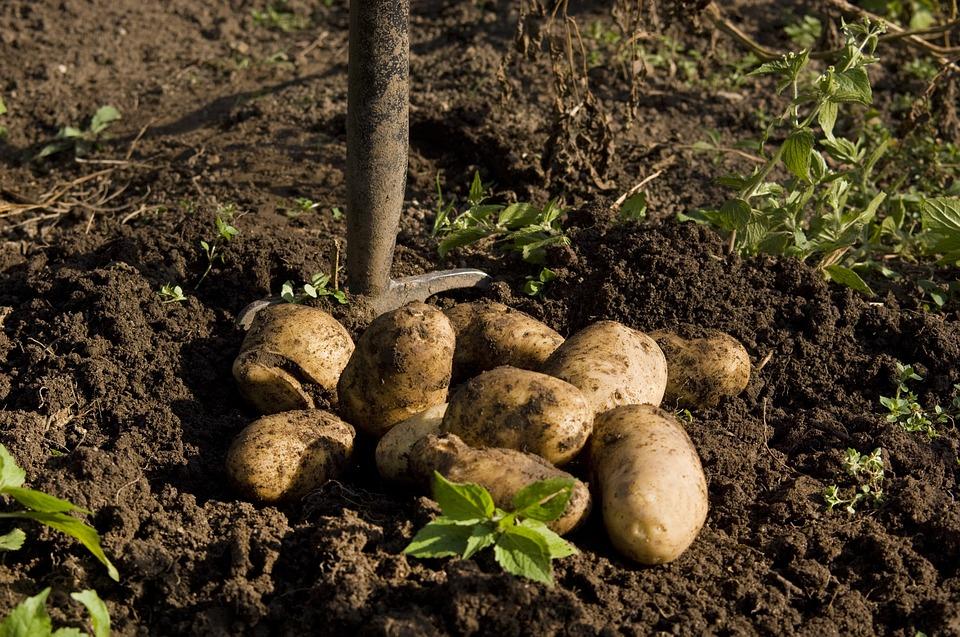 Четыре благоприятных дня для копки картофеля в конце августа 2019
