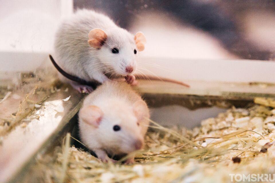 Крысы не в моде: кого заводят томичи