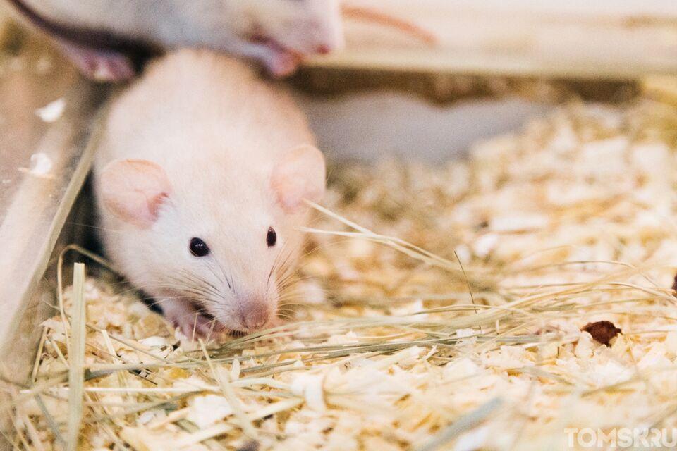 В России вырос спрос на живых крыс