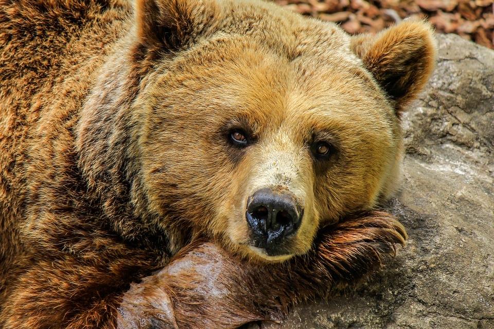 В Сибири из-за аномального тепла просыпаются медведи