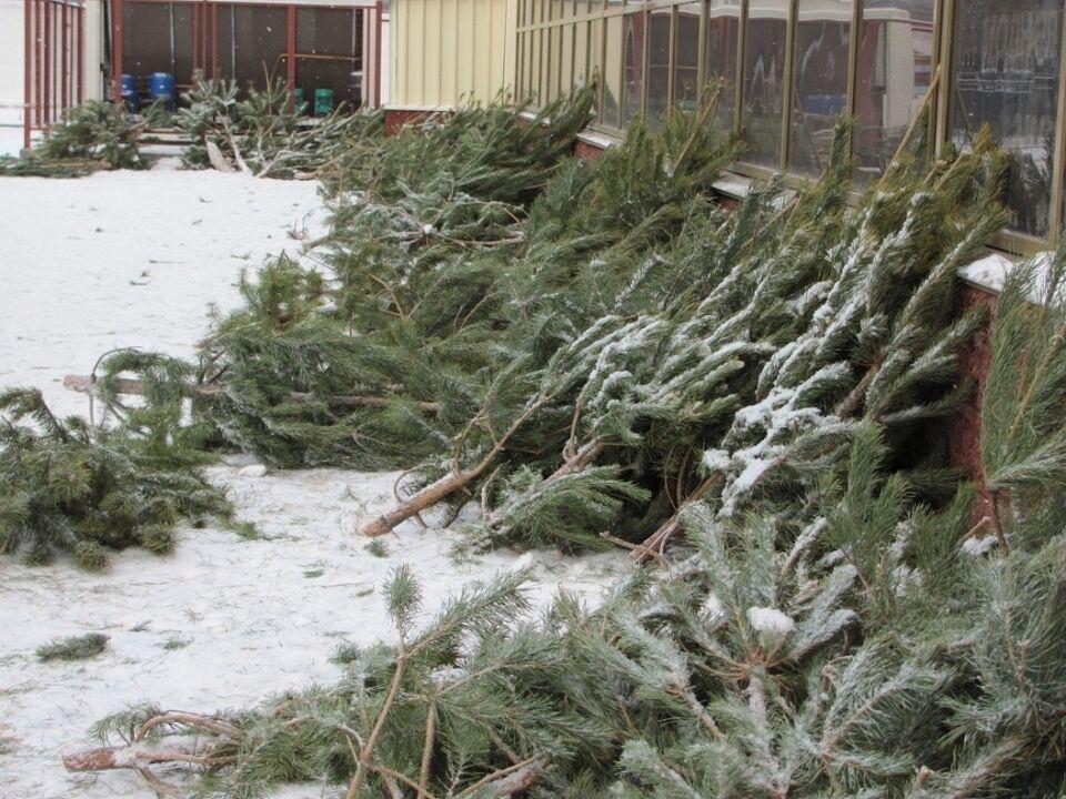 Томские буренки получили первые елки