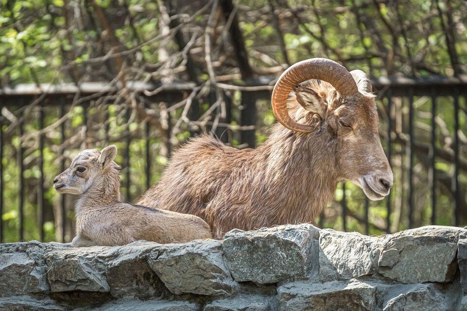 В одном из сибирских зоопарков родился детеныш редкого алтайского барана