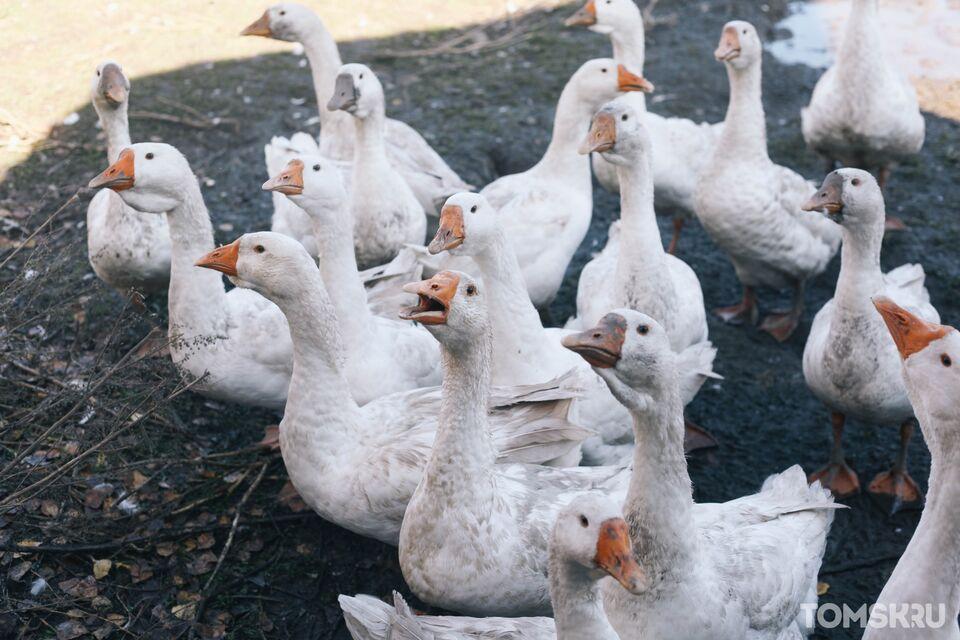 Птичий грипп добрался до Томской области