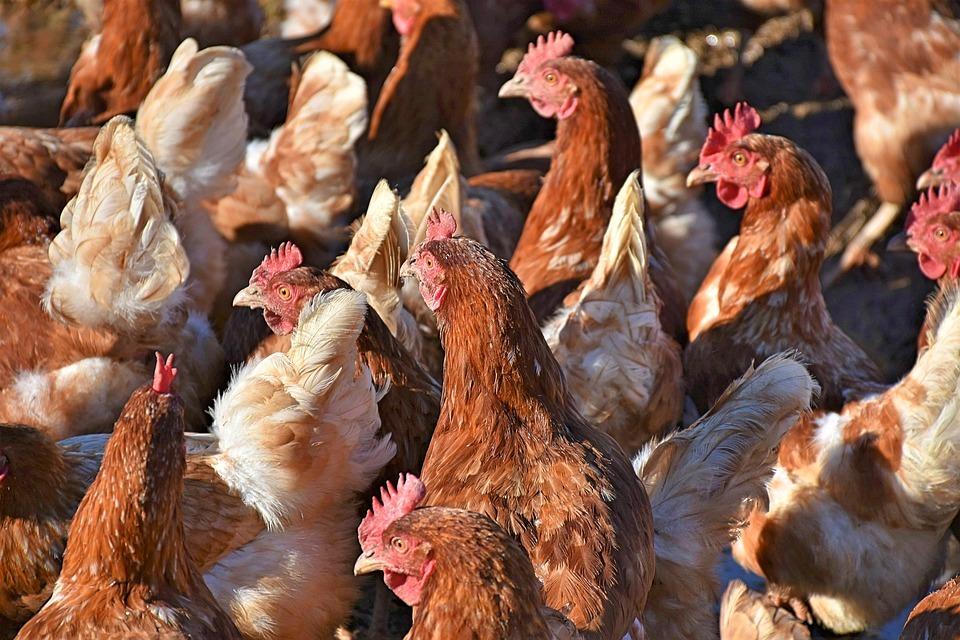 В Томской области обнаружен еще один очаг птичьего гриппа