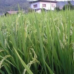 Тайланд рассматривает возможность бартерной сделки с Ираном, предусматривающий поставки тайского риса в Иран в обмен на нефть.