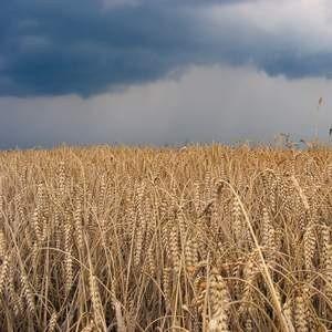 Государство со следующей недели начнет закупать пшеницу в интервенционный фонд по более высоким ценам. Цена мягкой продовольственной пшеницы третьего класса в рамках закупочных интервенций государства повышается до 5,5 тысячи рублей с прежних 5,1 тысячи рублей за тонну.