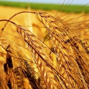 Вчера дневной оборот рынка поставочных фьючерсных контрактов на пшеницу на Национальной товарной бирже составил 981 контракт, что на 12,5% выше предыдущего максимального значения в 2008 году. Таким образом, дневной оборот фьючерсов на пшеницу на НТБ приближается к показателям крупнейших зерновых бирж Европы.