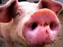 Свиной грипп поглощает мир. В последнее время СМИ пестрят подобными заголовками. Однако так ли страшен черт, как его малюют.