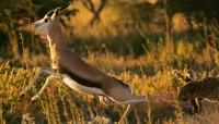 Прыжок леопарда прославил томича