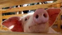 Северчанка заболела свиным гриппом
